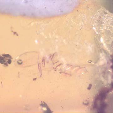 Rare Eleven Eggs And Fungus Gnat In Dominican Amber