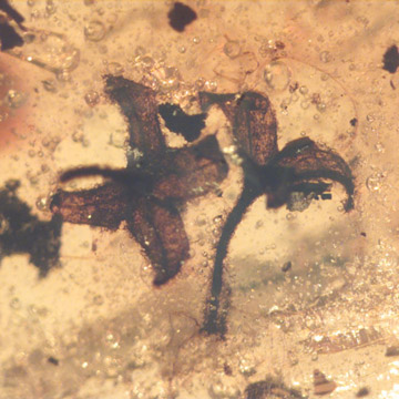 Rare Six Well Preserved Flowers  In Dominican Amber