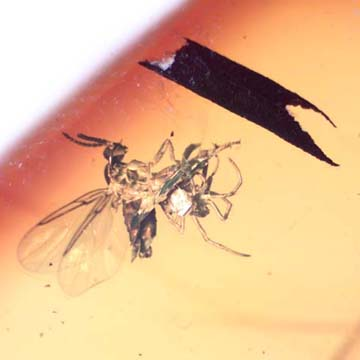 Rare Black Scavenger Fly And Spider Fighting And Black Scavenger Fly In Dominican Amber