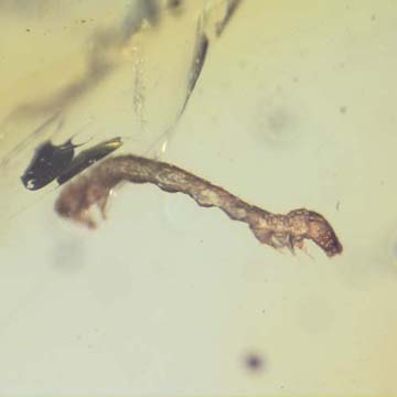 Rare Inchworm In Dominican Amber