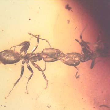 Rare Two Worker Ants Kissing And Two Worker Ants In Dominican Amber
