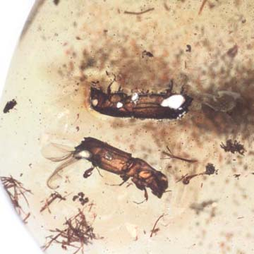 Rare Four Beetle, Fungus Gnat, Bark Beetle And Nice Bubble Formation In Dominican Amber