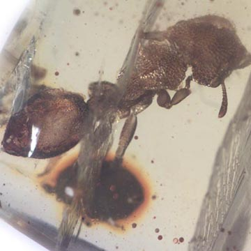 Rare Four Square Headed Ant In Dominican Amber