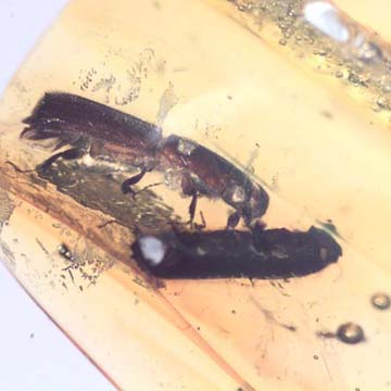 Rare Four Tiny Mites Below The Bark Beetle In Dominican Amber