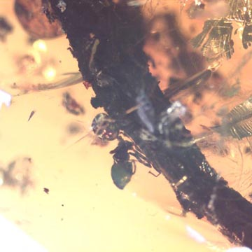 Rare Ant On Stick Climbing On A Branch In Dominican Amber
