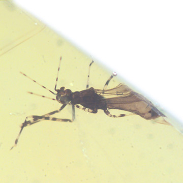 Common Assassin Bug In Dominican Amber