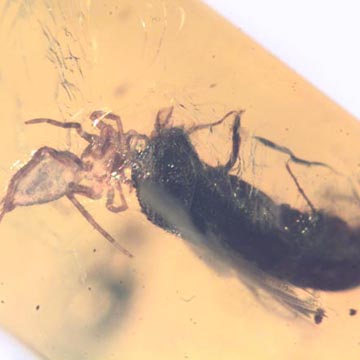 Rare Bark Beetle Bittin By Spider In Dominican Amber