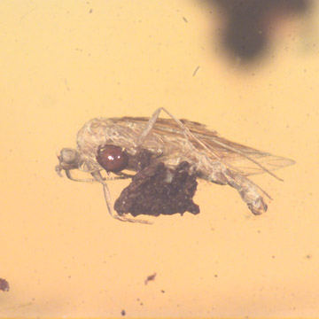 Rare Barklouse With Mite Clinging On It, Bethylid Wasp And Beetle In Dominican Amber