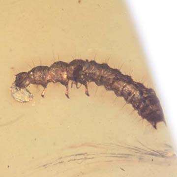 Rare Beetle Larva With Mite On Top, Cool Bubble On Its Mouth And Two Mites In Dominican Amber