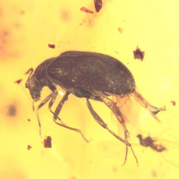 Rare Beetle With Genital Coming Out And Planthopper In Dominican Amber