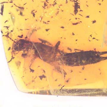 Rare Breached Earwig In Dominican Amber