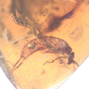 Rare Decomposed Earwig In Dominican Amber