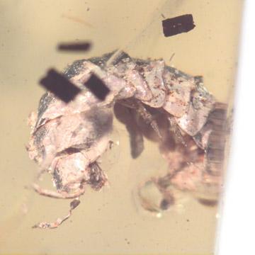 Rare Isopod And Larva In Dominican Amber