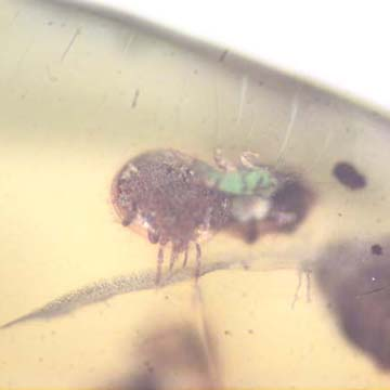 Rare Swarm Of Mite In Dominican Amber