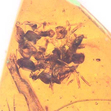 Rare Swarm Of Worker Ants And Cricket In Dominican Amber