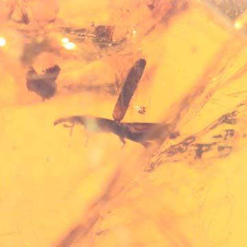 Rare Weevil In Dominican Amber