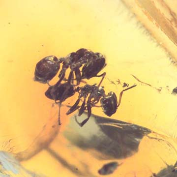 Rare Worker Ant Riding On Another Worker Ant In Dominican Amber