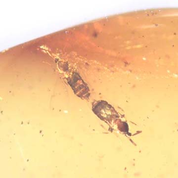 Rare Mating Flies In Dominican Amber