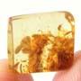 Rare Fungus In Dominican Amber