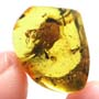Rare Ant With Huge Mandibles In Dominican Amber
