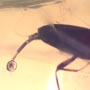 Rare Beetle With Extended Genitals In Dominican Amber