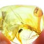 Rare Beetle With Genital Coming Out In Dominican Amber