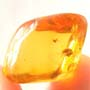 Rare Beetle With Sex Organ Extended In Dominican Amber
