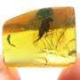 Rare Long Legged Fly With Genital Coming Out In Dominican Amber