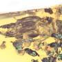 Rare Soldier Termite In Dominican Amber