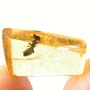 Rare Square Headed Ant In Dominican Amber