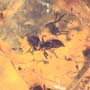 Rare Swarm Of Worker Ants In Dominican Amber