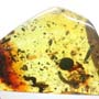 Rare Weevil And Five Bark Beetles In Dominican Amber